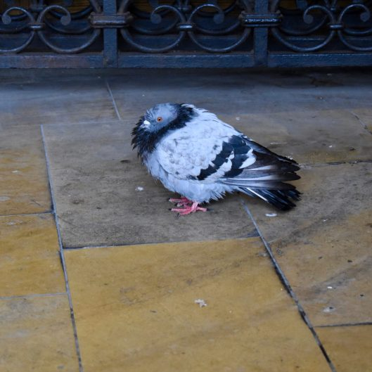 Soaked pigeon.