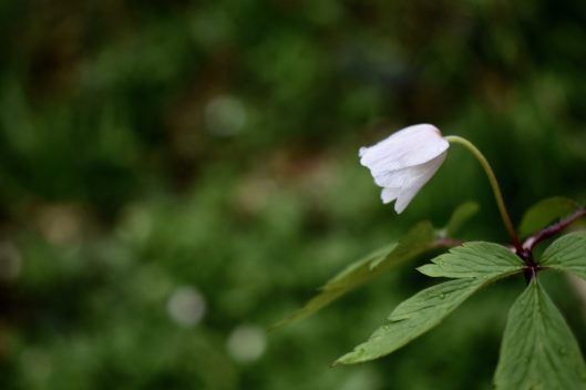 Wood anemone. Sussex, England.
