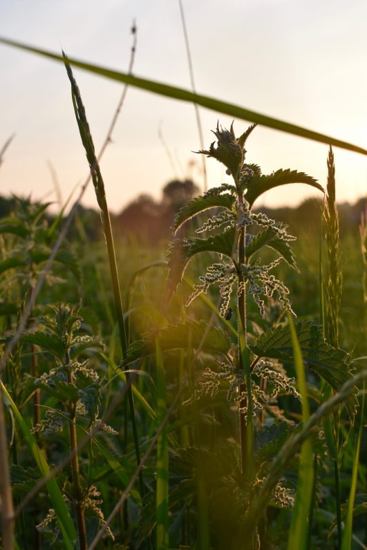 Nettle. Sussex, England.