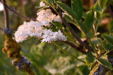 Elderflower. Sussex, England.
