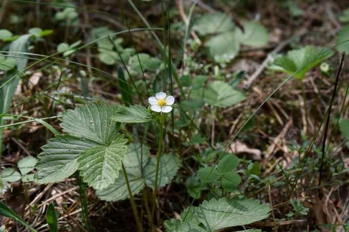 Wild strawberry flower. Podlasie, Poland.