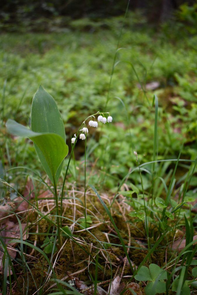 Lily of the valley. Podlasie, Poland.