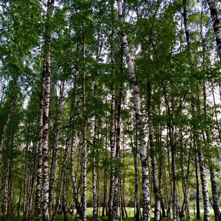Birch trees. Bieszczady, Poland.