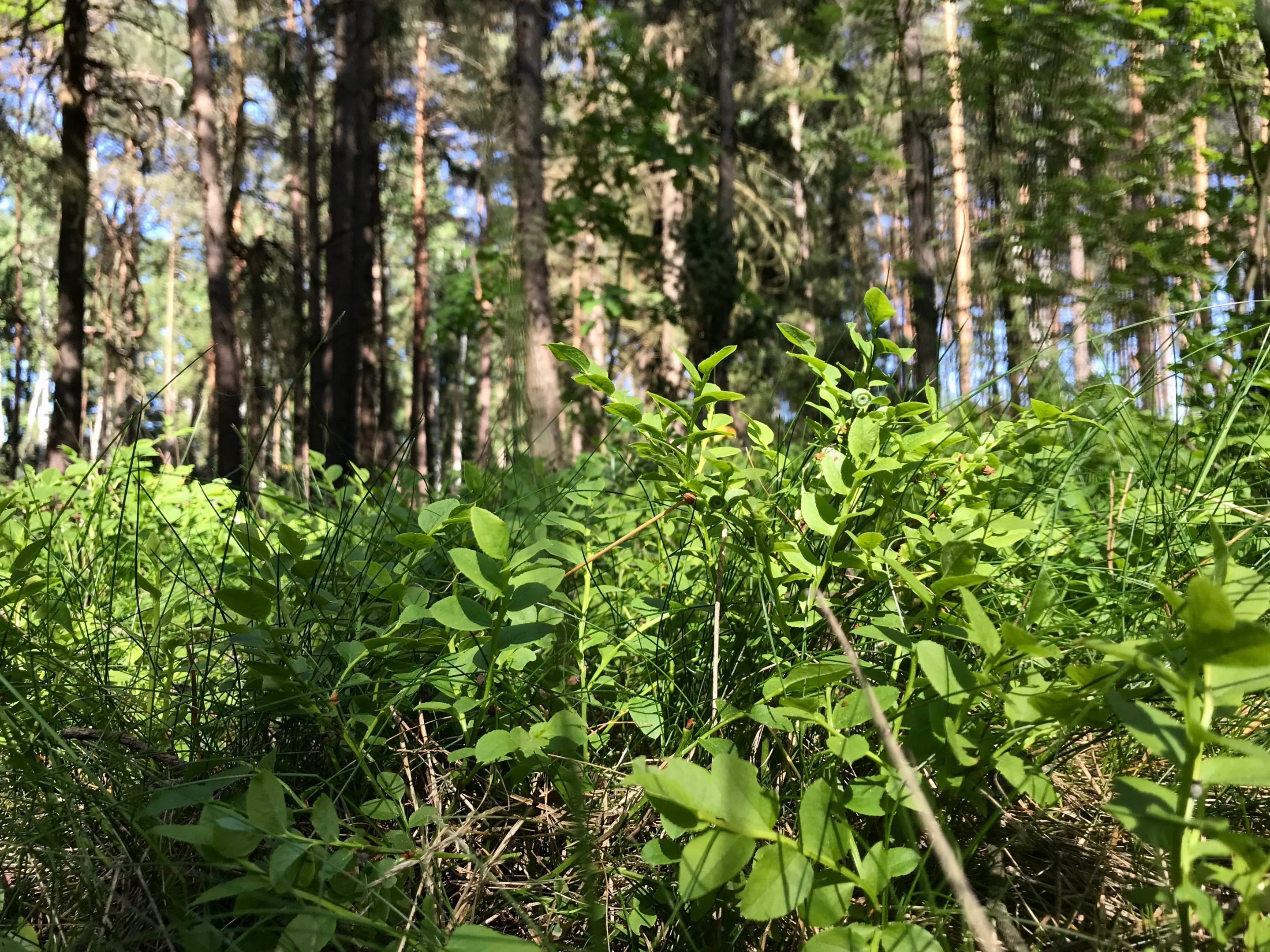 Bilberry shrubs in the forest