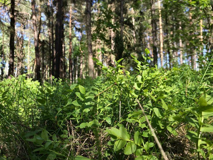 Bilberry shrubs. Podlasie, Poland.