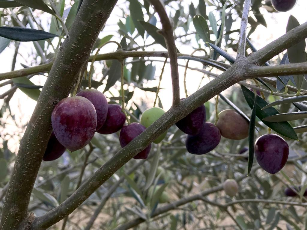 Olives on the olive tree branch