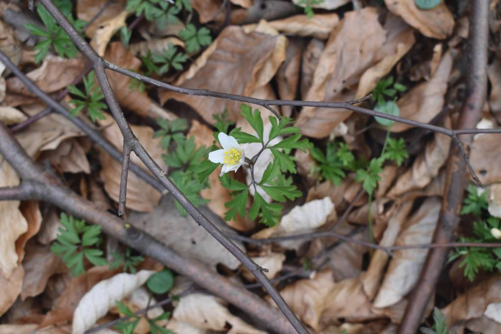 White wood anemone flower on the forest floor covered with brown leaves