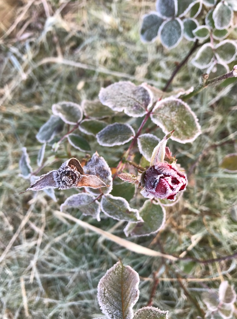 frozen red rose with frost
