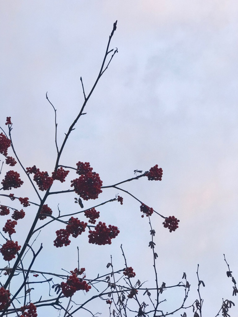 rowanberries on a tree in the winter
